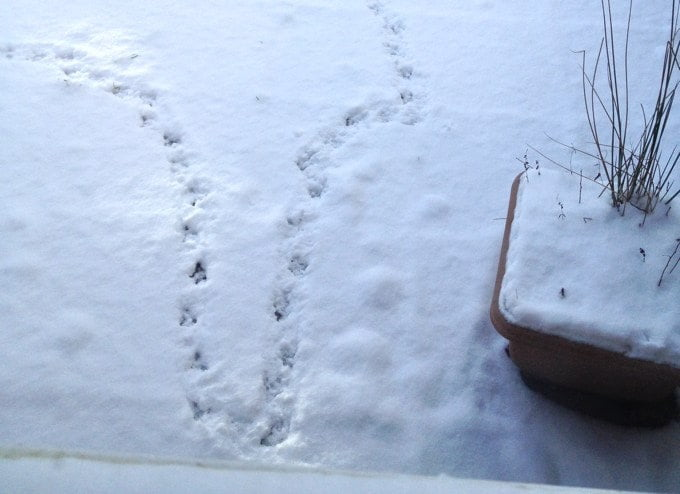 bird prints in the snow